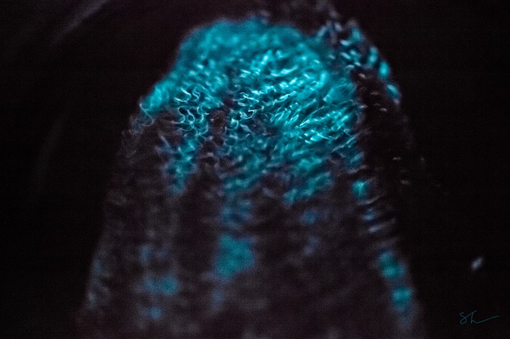 Beroe cucumis bioluminescence in the lab.