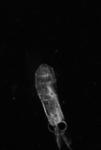 Fig 3: Krill captured by VPR (Picture: Frederika Norrbin)